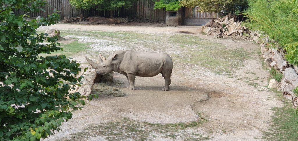 Nosorożec stojący na wybiegu w zoo.