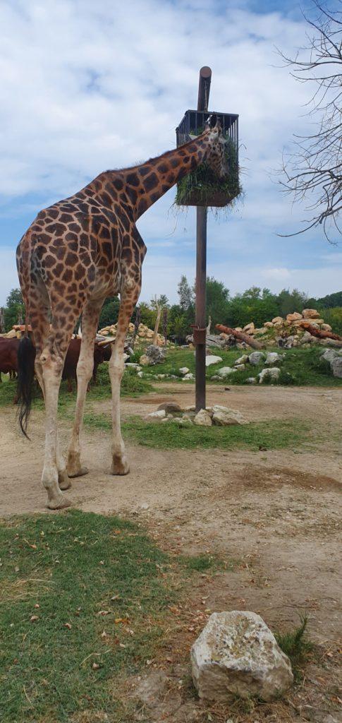 Jedząca żyrafa.