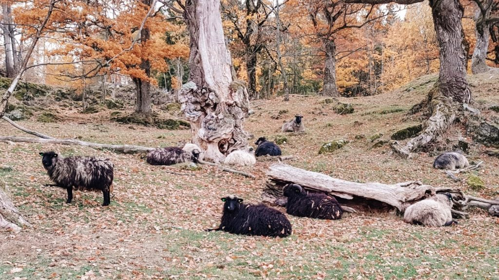 stado owiec wypoczywające pod drzewami, jesienią.