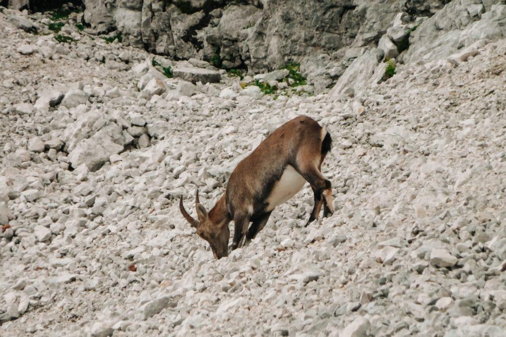 Koziorożec spotkany na szlaku na Razor w Alpach Julijskich.