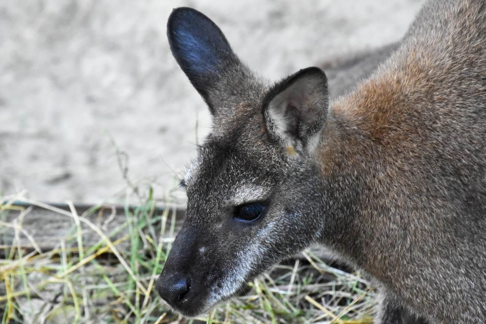 Kangurek w ZOO w Oliwie.